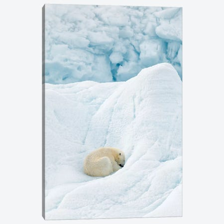 Polar Bear Sleeping Canvas Print #RAA14} by Joan Gil Raga Canvas Print