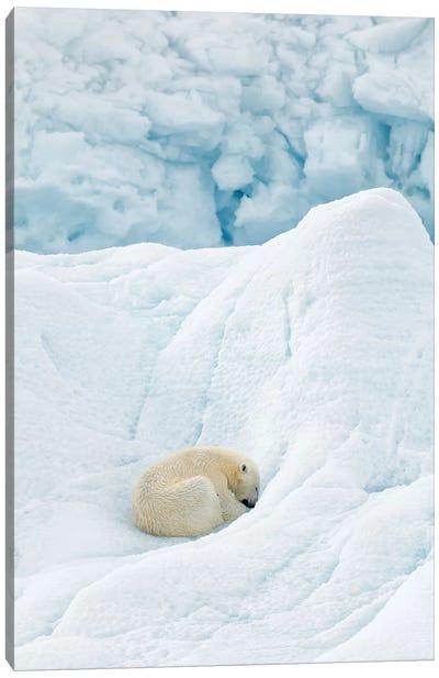 Polar Bear Sleeping Canvas Art Print