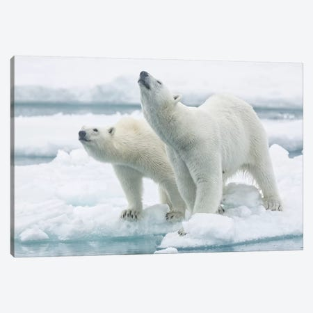 Polar Bears, Mother And Son Canvas Print #RAA15} by Joan Gil Raga Canvas Art Print