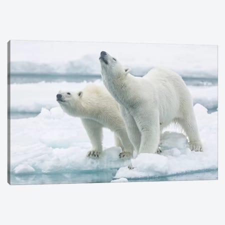 Polar Bears, Mother And Son Canvas Print #RAA15} by Joan Gil Raga Canvas Art Print