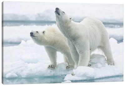 Polar Bears, Mother And Son Canvas Art Print