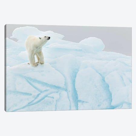 Polar Bear On Iceberg Canvas Print #RAA22} by Joan Gil Raga Art Print