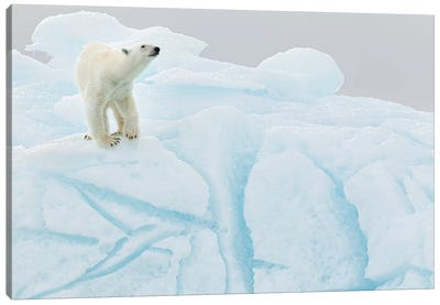 Polar Bear On Iceberg Canvas Art Print