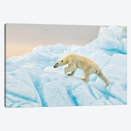 Polar Bear At Svalbard Canvas Print #RAA24} by Joan Gil Raga Canvas Artwork
