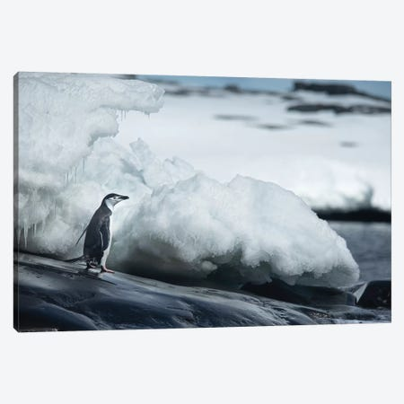 Adelie Penguin 3-Piece Canvas #RAA2} by Joan Gil Raga Art Print