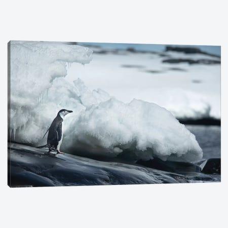 Adelie Penguin Canvas Print #RAA2} by Joan Gil Raga Art Print