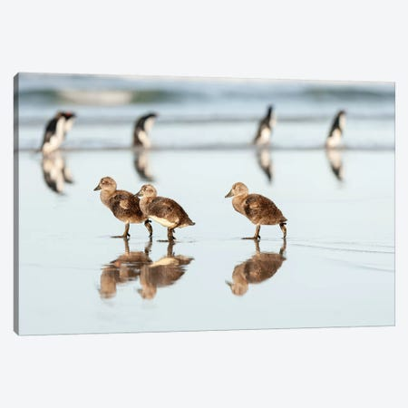 Falklands Ducks 3-Piece Canvas #RAA4} by Joan Gil Raga Canvas Art