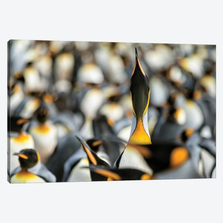 King Penguin Displaying Canvas Print #RAA6} by Joan Gil Raga Canvas Art