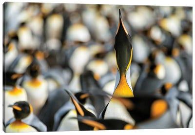 King Penguin Displaying Canvas Art Print