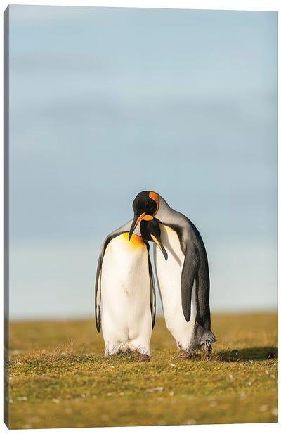 King Penguins Couple Canvas Art Print