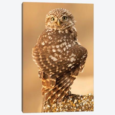Little Owl Canvas Print #RAA8} by Joan Gil Raga Canvas Print