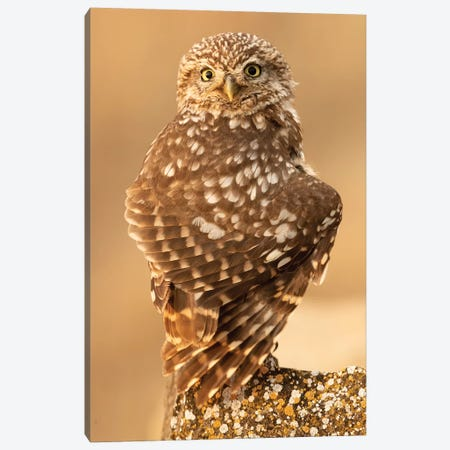 Little Owl Canvas Print #RAA8} by Joan Gil Raga Canvas Print