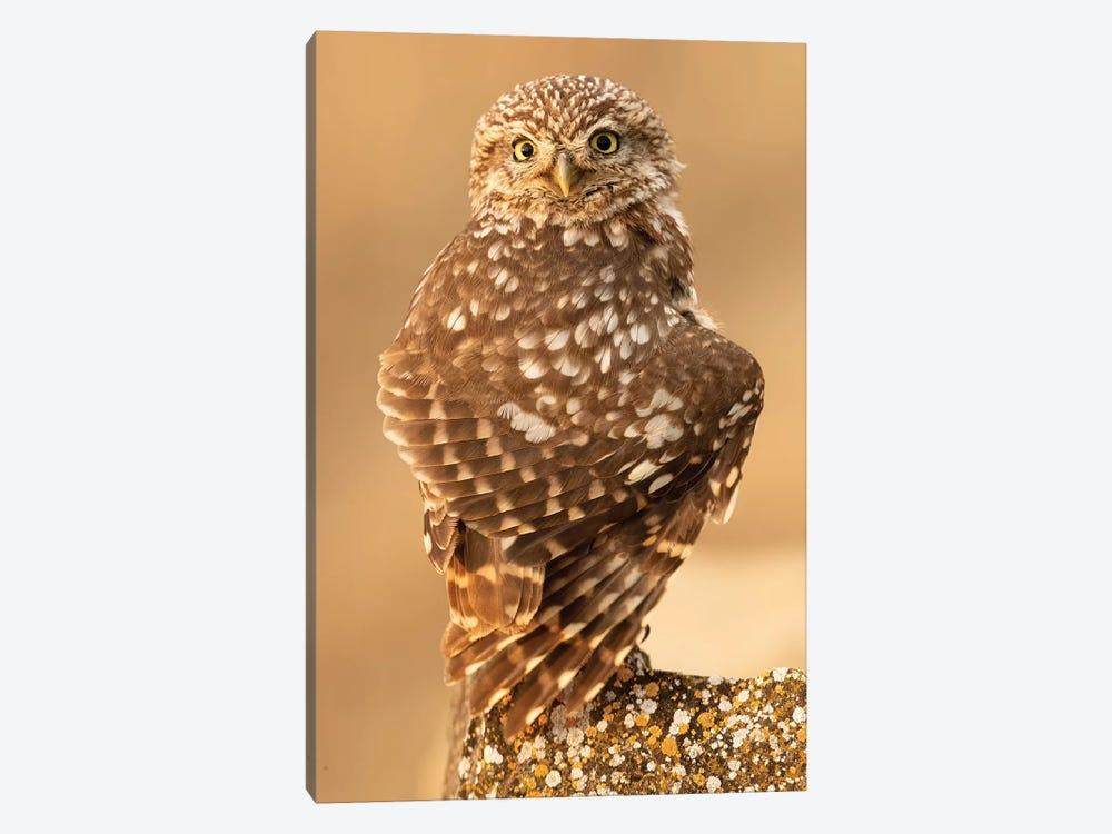 Little Owl by Joan Gil Raga 1-piece Art Print