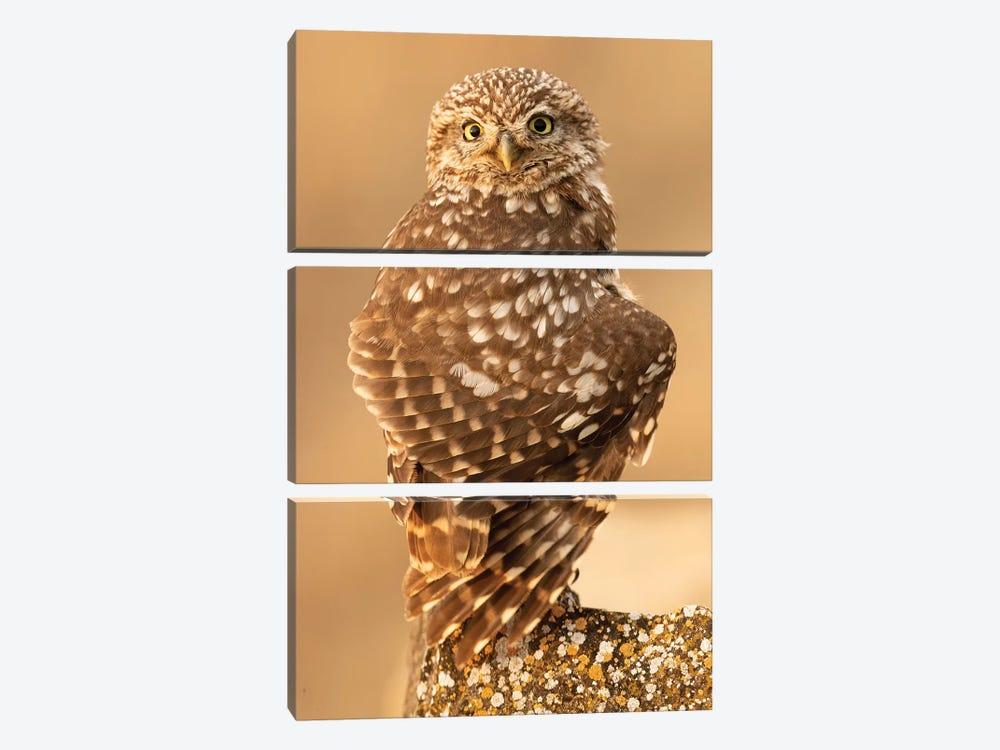 Little Owl by Joan Gil Raga 3-piece Canvas Print