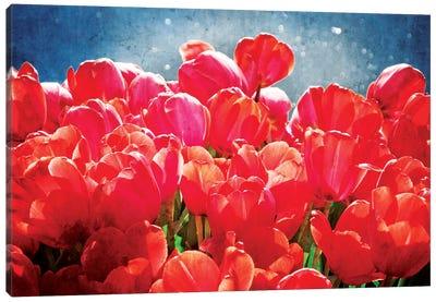 Fuchsia Tulips I Canvas Print #RAP1