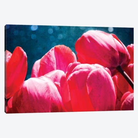 Fuchsia Tulips III Canvas Print #RAP3} by Rachel Perry Art Print