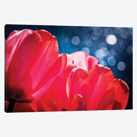 Fuchsia Tulips IV Canvas Print #RAP4} by Rachel Perry Canvas Art