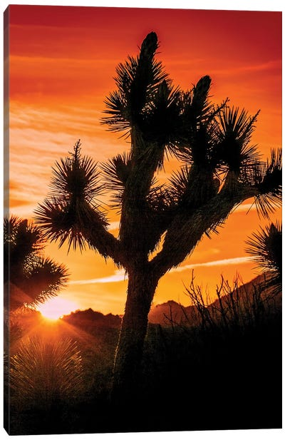 Joshua Tree Views V Canvas Art Print