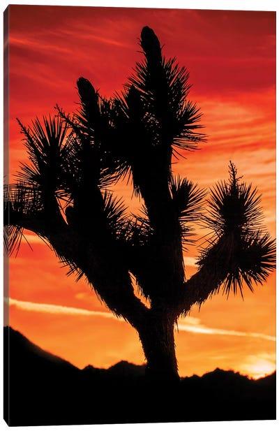 Joshua Tree Views VI Canvas Art Print
