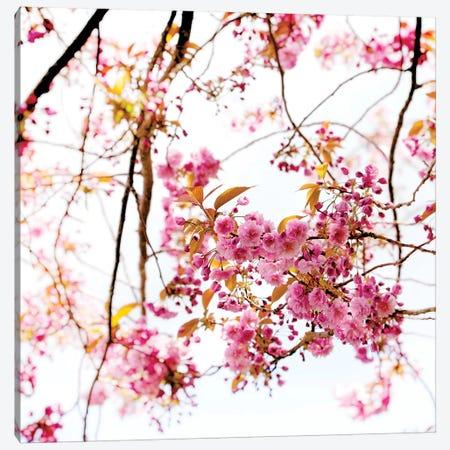 Cherry Blossom Canvas Print #RBM10} by Ros Berryman Canvas Wall Art