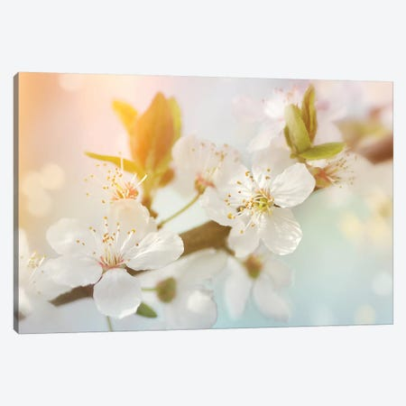 Pear Blossom Canvas Print #RBM39} by Ros Berryman Canvas Art