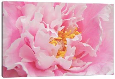 Peony Petals Canvas Art Print