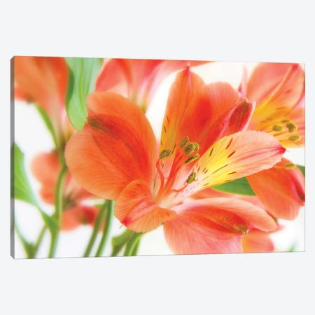 Peruvian Lilies Canvas Print #RBM45} by Ros Berryman Canvas Art