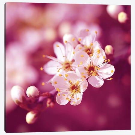 Plum Blossom Canvas Print #RBM50} by Ros Berryman Canvas Wall Art