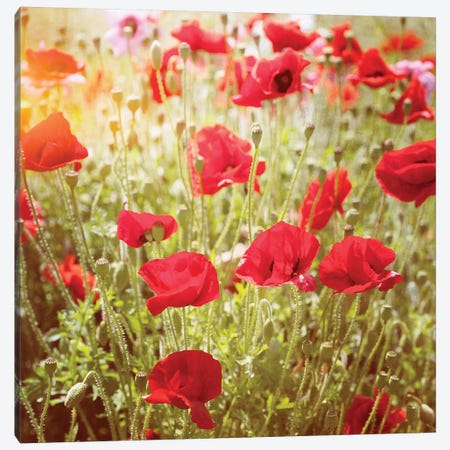 Poppy Field 3-Piece Canvas #RBM51} by Ros Berryman Canvas Art