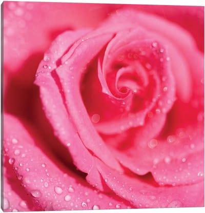 Rose And Raindrops Canvas Art Print