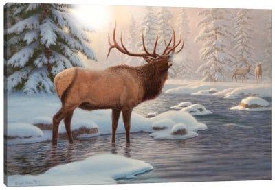Elk Bugleing Canvas Art Print
