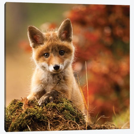 Fox Canvas Print #RDA1} by Robert Adamec Canvas Wall Art