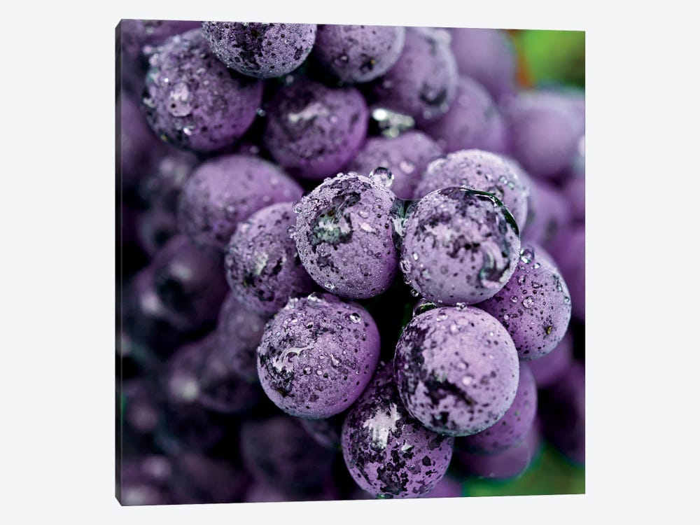 Chianti Grapes At Harvest, Greve In Chianti, Florence Province, Tuscany Region, Italy by Richard Duval 1-piece Canvas Art