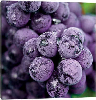 Chianti Grapes At Harvest, Greve In Chianti, Florence Province, Tuscany Region, Italy Canvas Art Print