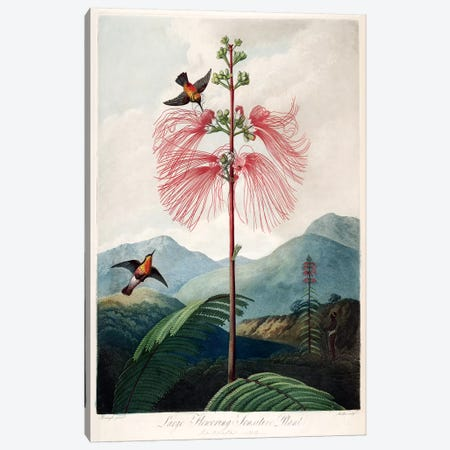 Large Flowering Sensitive Plant Canvas Print #REI1} by Philip Reinagle Canvas Print