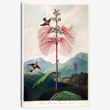 Large Flowering Sensitive Plant Canvas Print #REI1} by Philip Reinagle Canvas Print