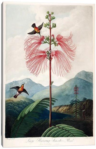 Large Flowering Sensitive Plant Canvas Art Print