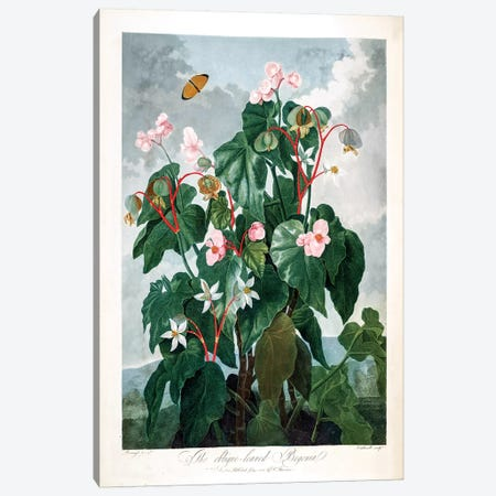 The Oblique-Leaved Begonia Canvas Print #REI3} by Philip Reinagle Canvas Print