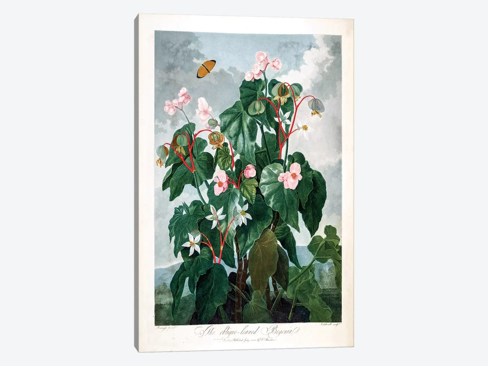 The Oblique-Leaved Begonia by Philip Reinagle 1-piece Canvas Art Print