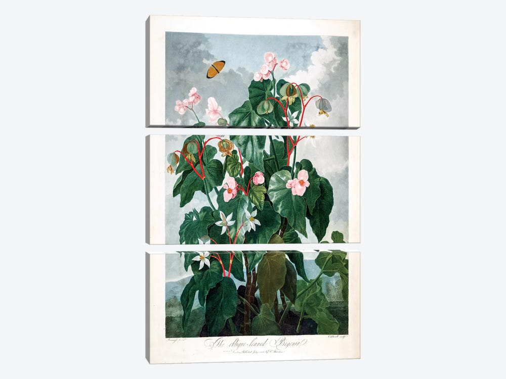 The Oblique-Leaved Begonia by Philip Reinagle 3-piece Canvas Print
