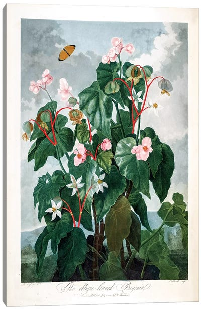 The Oblique-Leaved Begonia Canvas Art Print