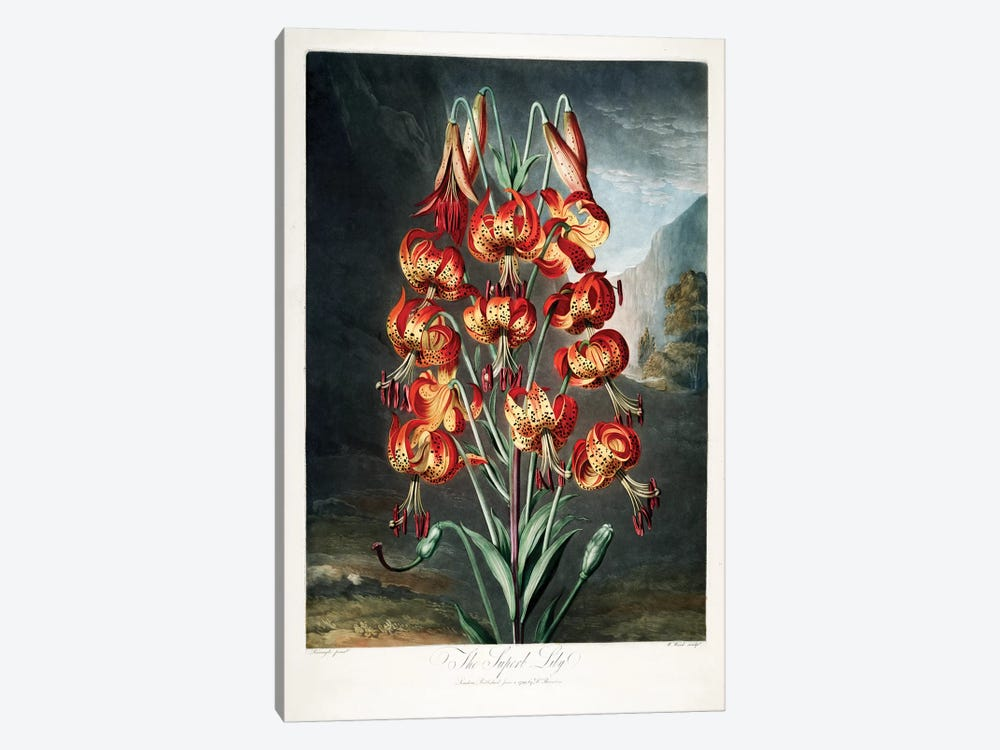 The Superb Lily by Philip Reinagle 1-piece Canvas Artwork