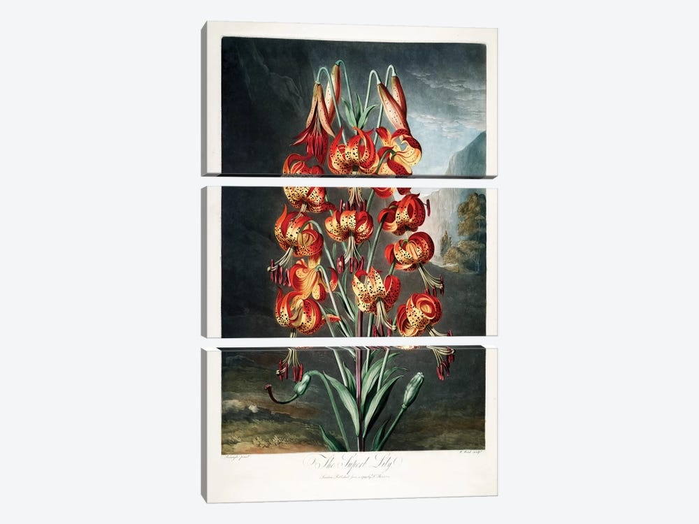 The Superb Lily by Philip Reinagle 3-piece Canvas Artwork