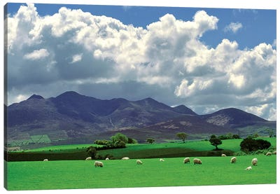 Europe, Ireland, Macgillacuddy's Reeks. Sheep Graze Happily Near Macgillacuddy's Reeks, Ring Of Kerry, Ireland. Canvas Art Print