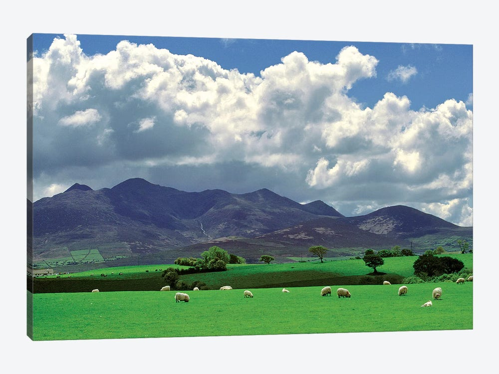 Europe, Ireland, Macgillacuddy's Reeks. Sheep Graze Happily Near Macgillacuddy's Reeks, Ring Of Kerry, Ireland. by Ric Ergenbright 1-piece Canvas Art Print