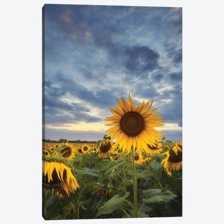 Sunflowers Canvas Print #RFL180} by Rafal Kaniszewski Canvas Art