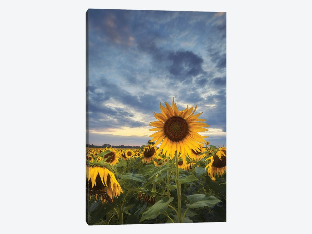 Sunflowers by Rafal Kaniszewski 1-piece Canvas Art Print
