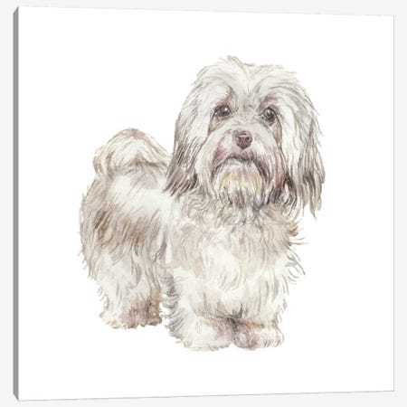Havanese Cuban Bichon Canvas Print #RGF42} by Wandering Laur Canvas Wall Art