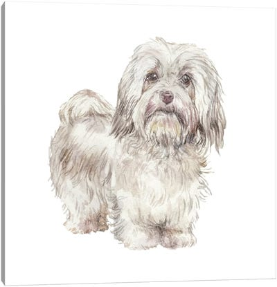 Havanese Cuban Bichon Canvas Art Print