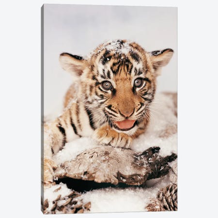 Tiger Snow Canvas Print #RHA145} by Rachael Hale Art Print